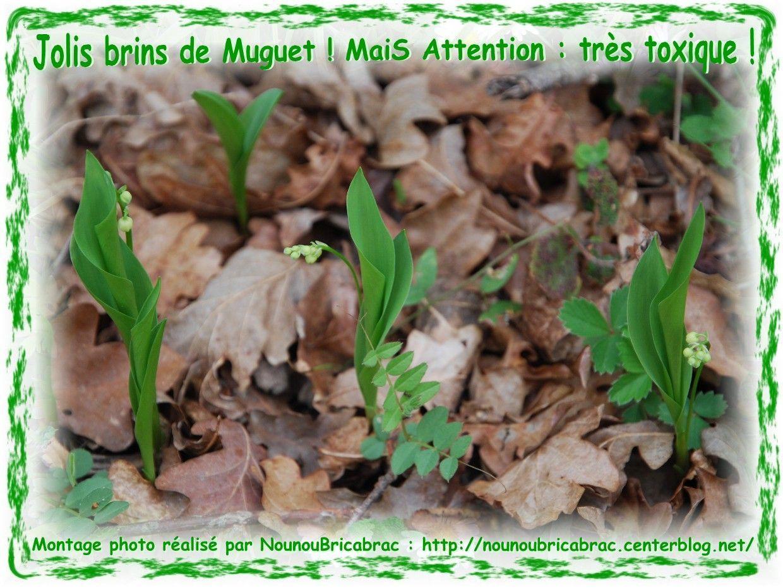 Brins de Muguet... MaiS ATTENTION !!! C'est aussi une fleur TOXIQUE